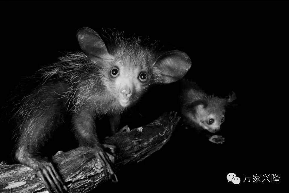 原标题:这些动物濒临灭绝 你敢看它们的眼睛吗   据《华盛顿邮报》报道,随着全球变暖动物种类在不断减少,其中包括青蛙正在面临从地球上永远消失的威胁。摄影师的尼布拉斯坎-乔-萨特(Nebraskan Joel Sartore)近日拍摄了一组濒临灭绝的动物。此前由他拍摄的影像方舟系列着力于表现濒临灭绝的物种,系列图片已经成功在梵蒂冈、联合国、美国帝国大厦等地展出。2017年影像方舟巡回展目前正在策划。萨特始终坚持拍摄这些呼吁环保的图片,他表示:这些栖息地和物种能拯救人类,拯救濒临物种就是拯救我们自己。