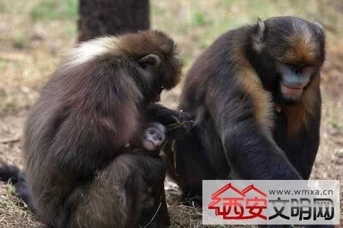 昨天,北京动物园传来喜讯,4月23日晚9时24分,园内的黔金丝猴产下二胎