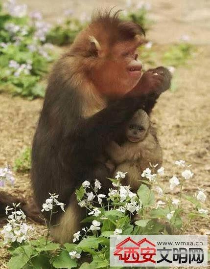 """动物园珍贵金丝猴生二胎 """"小公主""""呆萌可爱被赞有爱"""