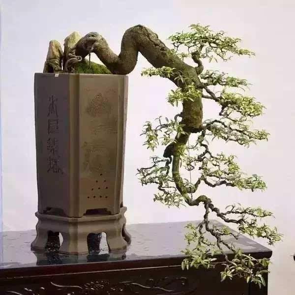 苏派盆景形成于苏州, 以树木盆景为主, 风格古雅拙朴,造型自然.