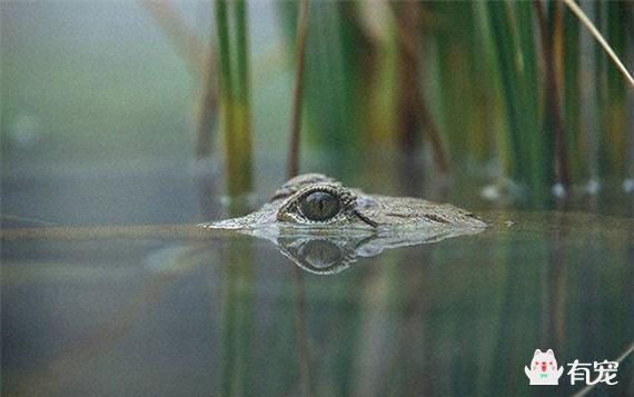 鳄鱼可以做到这些是因为它是可以进行单侧脑睡眠的
