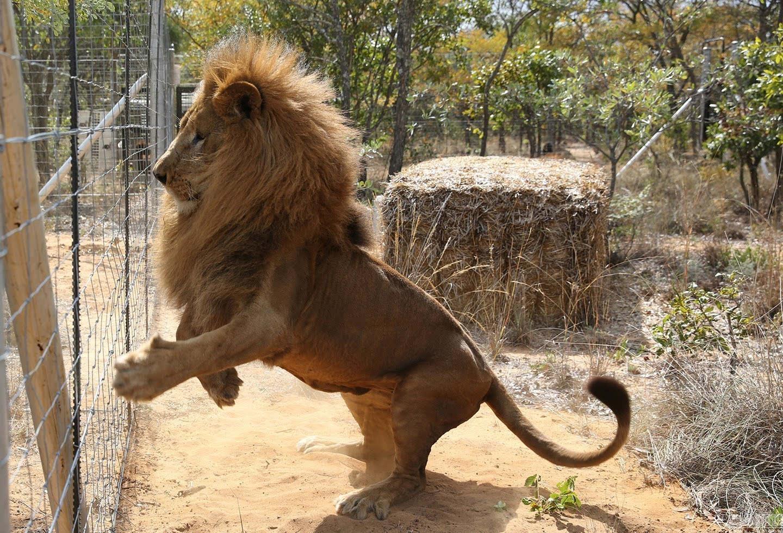 当地时间2016年5月1日,南非瓦尔沃特,国际动物保护协会所拯救的33头马戏团狮子抵达南非大型猫科动物保护区。33只狮子中,国际动物保护协会成员以突袭方式从秘鲁10家马戏团中解救了24只,另外9只则由哥伦比亚一家马戏团自愿交出。视觉中国供图 谢绝转载