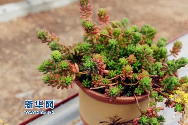 正文  据介绍,多肉植物也称作多浆植物或多汁植物,植株肥厚多汁且造型
