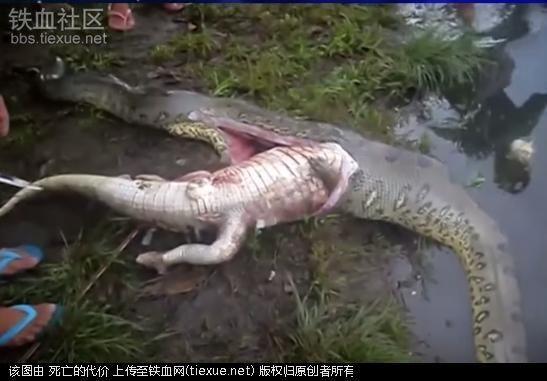 男子在河边抓到瘫痪巨蟒 剖开蛇肚后画面让人想吐