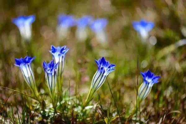 梅花草,火绒草,禾叶报春花