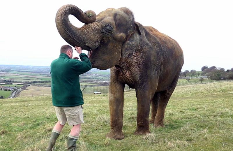 园内实施了一项特殊的动物手术,33岁的亚洲母象lucha因为牙齿松动感染