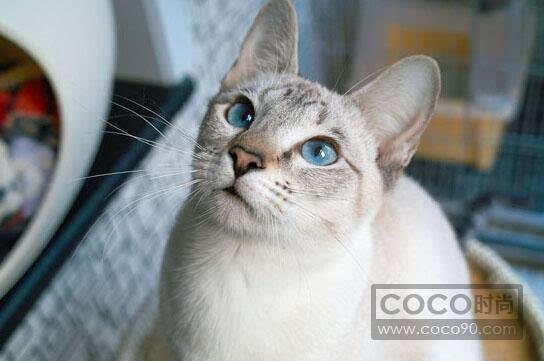 暹罗猫训练教程图片
