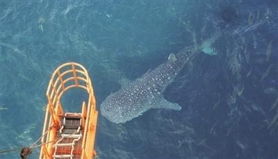 近日,北海涠洲岛附近的中海油涠洲11-4油田b平台惊现一条鲸鲨,绕着