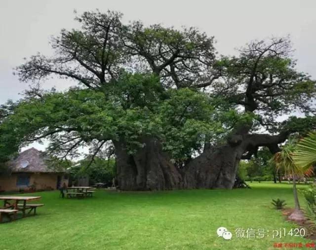 全球最著名的十六棵树