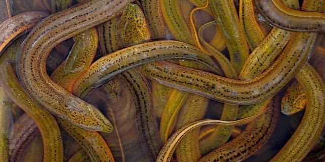 图:黄鳝图片