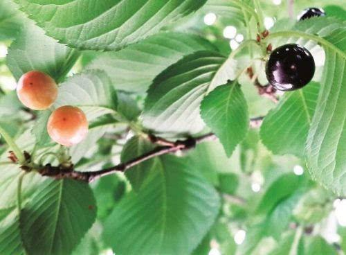 此外,路边樱花树都喷洒过防治病虫害的药,因此建议市民不要摘食樱花果