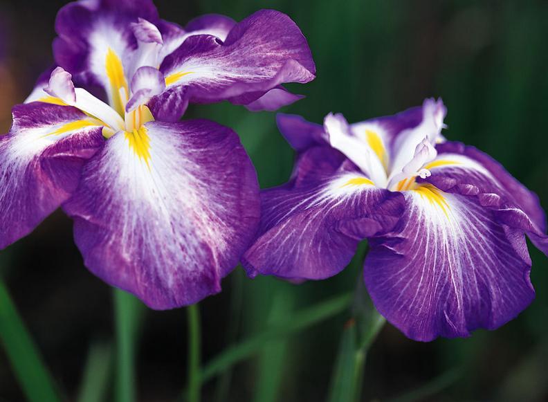 紫罗兰花语是什么 紫罗兰花语大全
