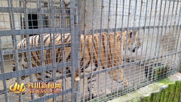 宜宾动物园老虎太廋 网友疑其遭虐待和克扣食物