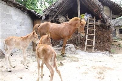 记者查阅了相关资料发现,马属于单胎动物,马生双胞胎是非常罕见的