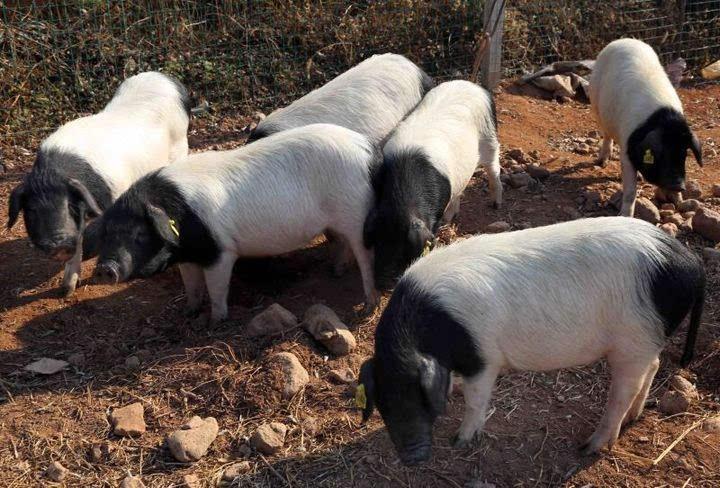 金华两头乌猪 葛跃进 摄   为啥攻关?   提升两头乌的开发效益   在市场上,两头乌猪肉的售价要比普通猪肉贵一倍以上。俗话说物以稀为贵,两头乌充分印证了这一点。   来自金华市畜牧局的数据显示,目前金华两头乌的年出栏量为7.5~8万头,母猪存栏量为5000多头。什么概念?两头乌只占到金华地区年生猪出栏量的3%~4%。   金华两头乌,也叫中国熊猫猪,被农业部列入《国家级畜禽品种资源保护名录》,是国家级重点保护的地方畜禽品种之一。   作为知名地方猪种,两头乌的境遇其实并不顺遂。   过去二