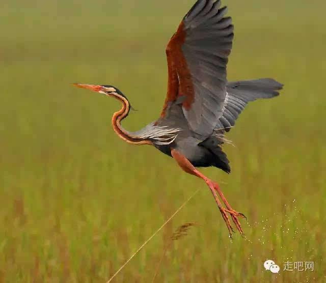 长江源水系野生动物 长江裸鲤,长丝裂腹鱼,裸腹叶须鱼等保护鱼类