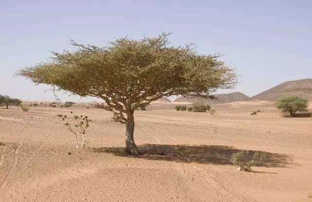 非洲金合欢树二三事