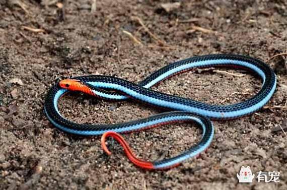 神秘的剧毒蓝蛇:蓝长腺珊瑚蛇