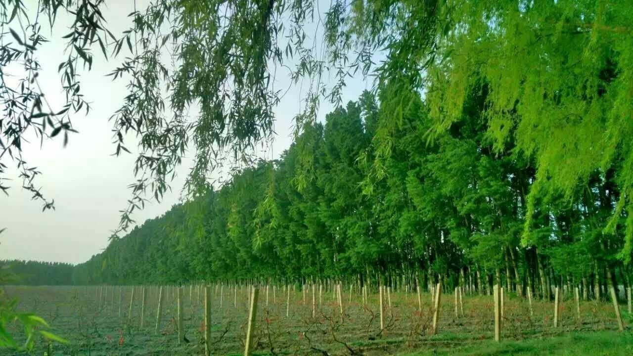 壁纸 垂柳 电脑 风景 风景壁纸 柳树 摄影 树 桌面 1280_720