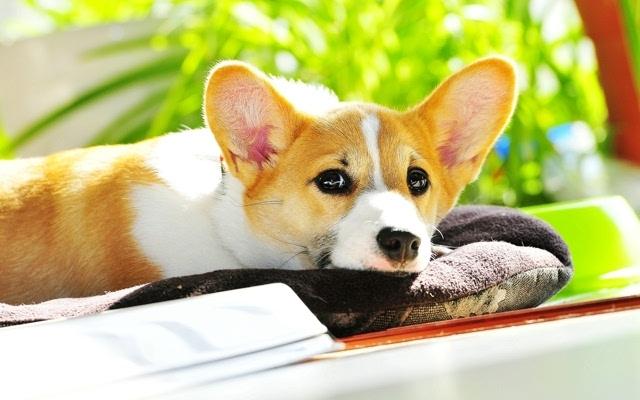 可爱萌宠柯基犬图片高清桌面壁纸