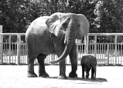 """动物园非洲象再""""添丁"""""""