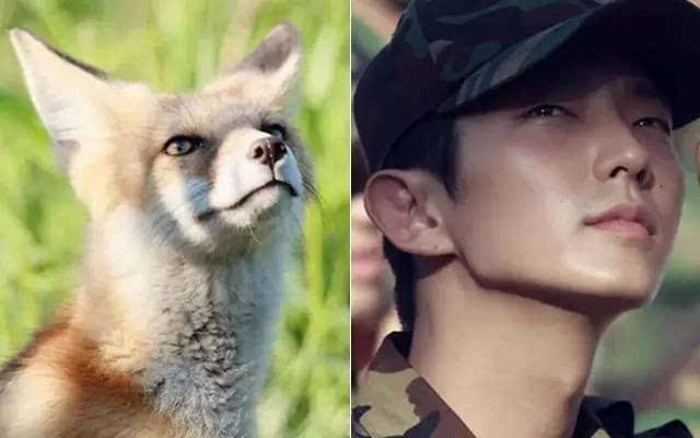 要火!新疆玛纳斯的狐狸竟然和明星撞脸了