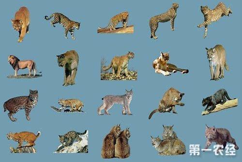 猫科动物常见的有哪些?猫科动物分类