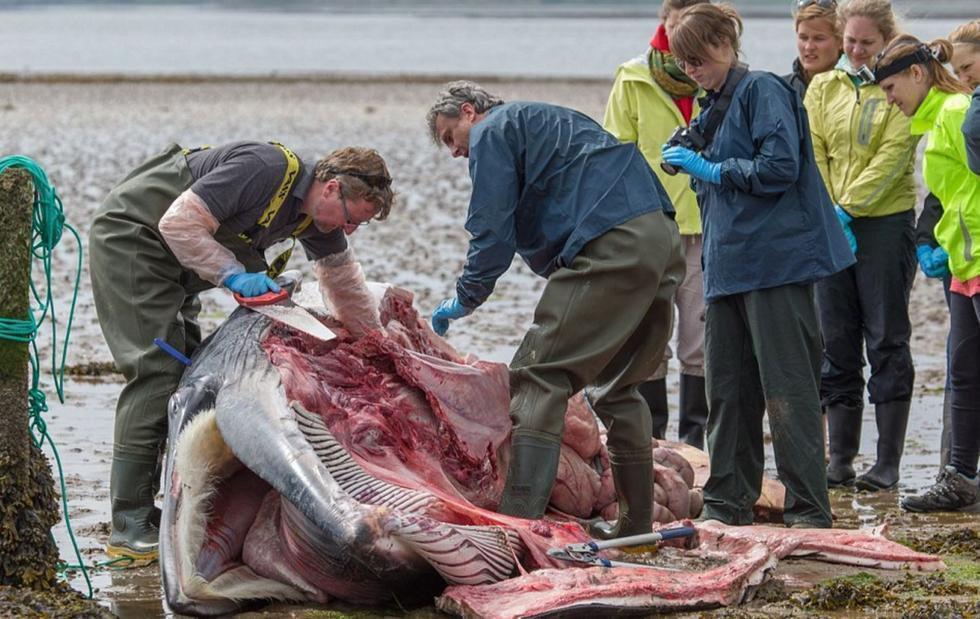 直至爆炸.如果不对鲸鱼尸体进行及时解剖,很有可能酿成惨剧.图为