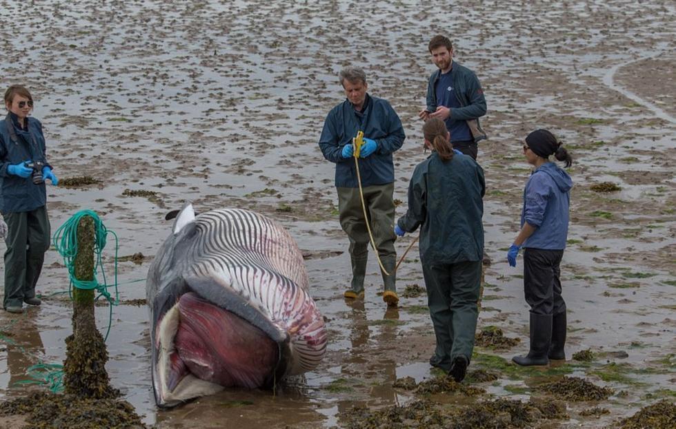 图为专家正在进行尸检,鲸鱼体内的肠道被剖开以防爆炸.   现场科研