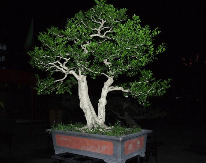 九里香盆景制作方法