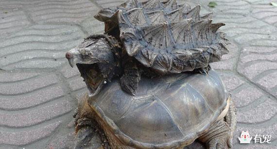 鳄龟的生活习性什么样