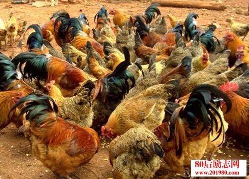 农村禁止养猪养鸡补贴