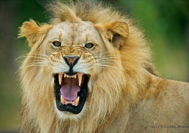 动物摄影:彪悍的狮子不需要pose