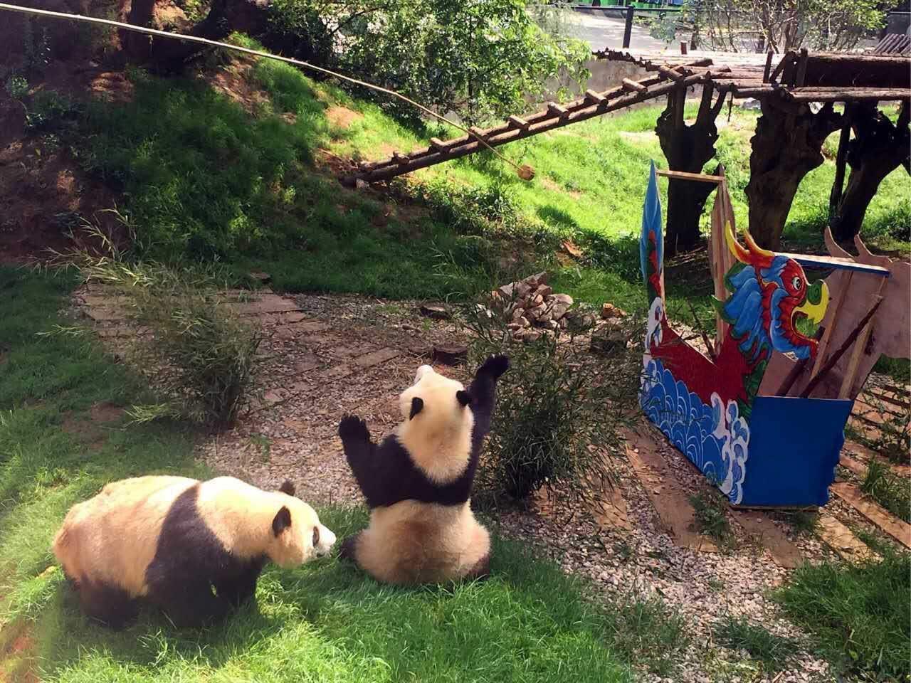 云南野生动物园提前给大熊猫过端午