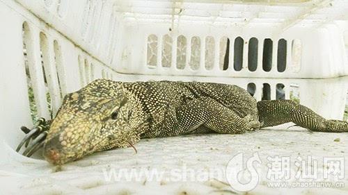 """陆河一村民捕获国家一级保护野生动物交森林公安部门""""五爪金龙""""回归大"""
