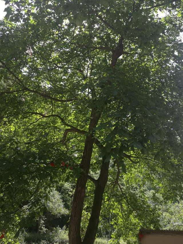 一棵高大的核桃树树树立在院落中央,像一个顶天立地的巨人,又像一个