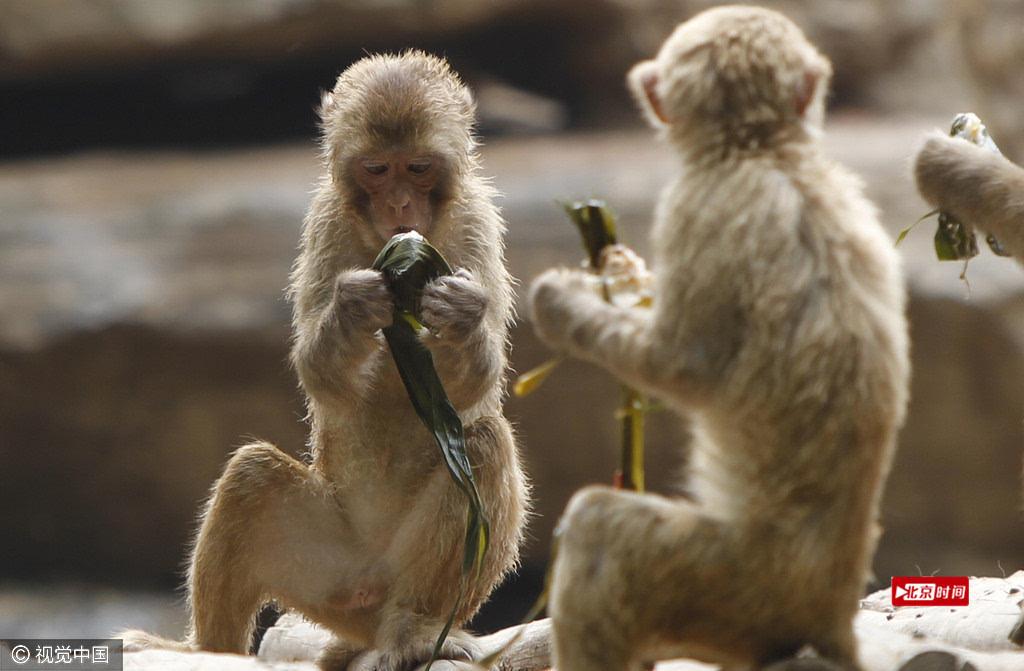 2016年6月7日,河南省郑州市动物园,猴山上的猴群争相品尝饲养员送来