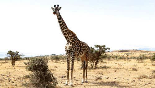 有趣的是,  构成长颈鹿脖子的骨头数量和人类以及其他哺乳动物都是一