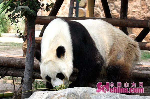 """端午节好热闹 济南动物园给动物吃""""粽子"""""""