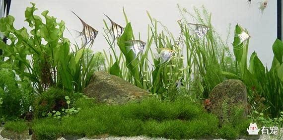 浮栽 浮栽的方法是最简单的,根本不用栽,只要直接将水草放入鱼缸,任它自由漂浮生长就可以。 沙栽 需要先在缸底铺垫厚度约3cm的细河沙(铺垫前需要先清洗消毒),随后将水草栽入沙中,再用小个的鹅卵石将水草的根部压住,以免换水将水草连根拔起。 盆栽 简单的说就是放在鱼缸中的盆栽。你需要先选择一个精美的瓷质小花盆,并在盆底垫一些石子,然后将水草栽种在里面,再用小鹅卵石压住它的根部,最后只要将花盆轻轻放入鱼缸就大功告成了。