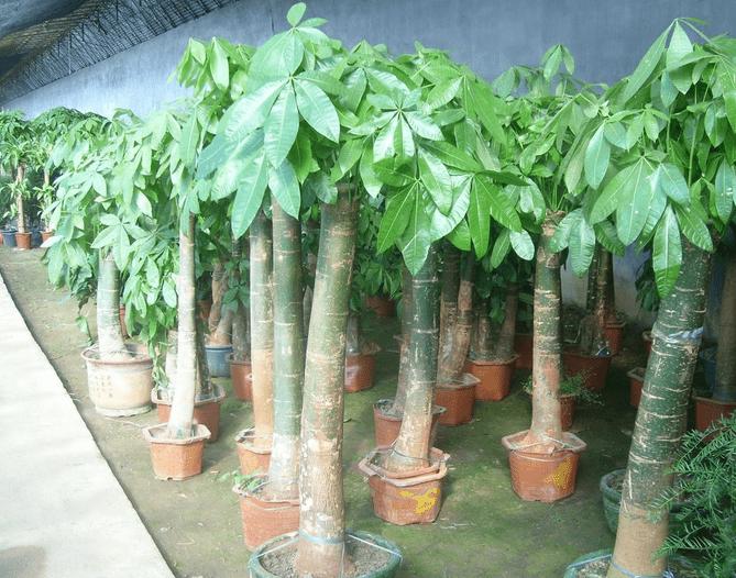 常见的发财树盆栽造型