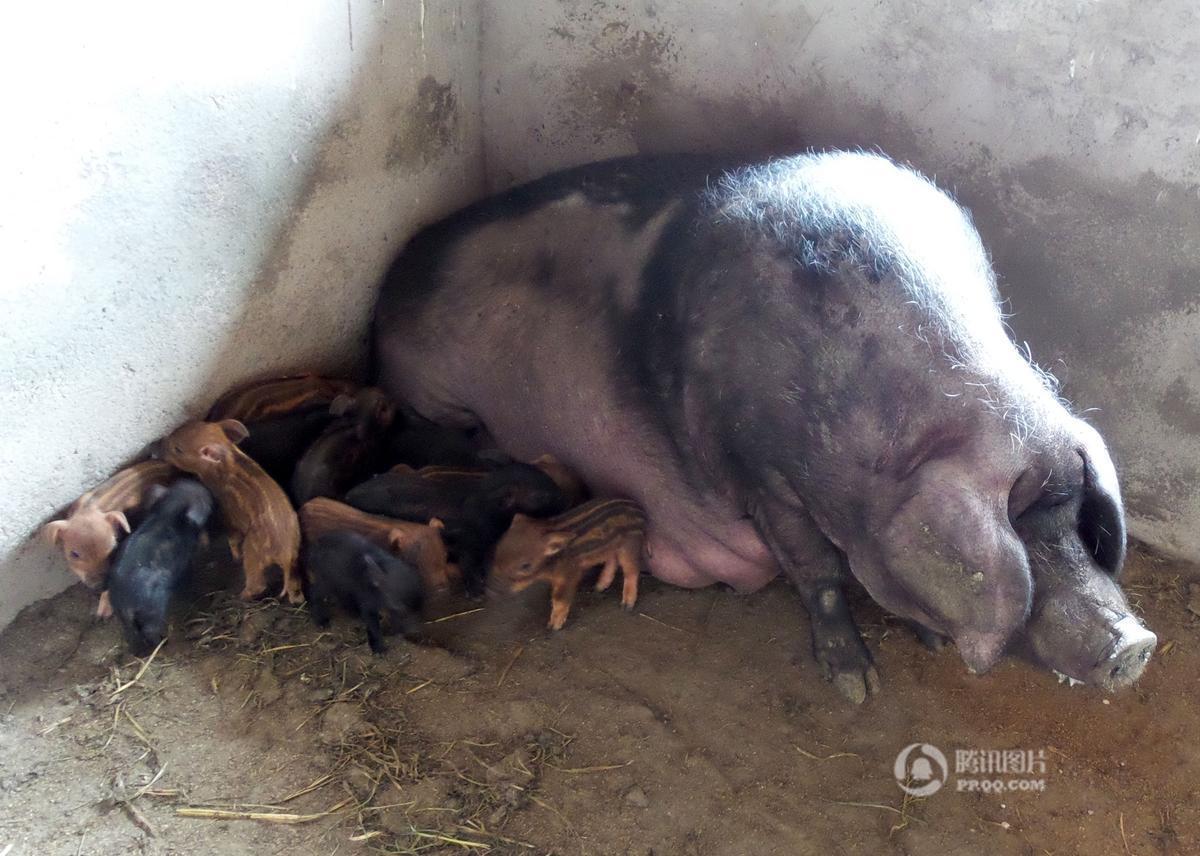 300斤家猪产下17只野猪崽 猪崽个个身上有条纹