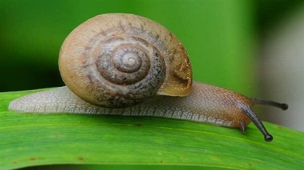 牙齿最多的动物是谁?蜗牛