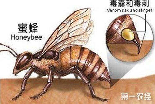 蜜蜂螫人的刺:发育未完全的产卵器图片