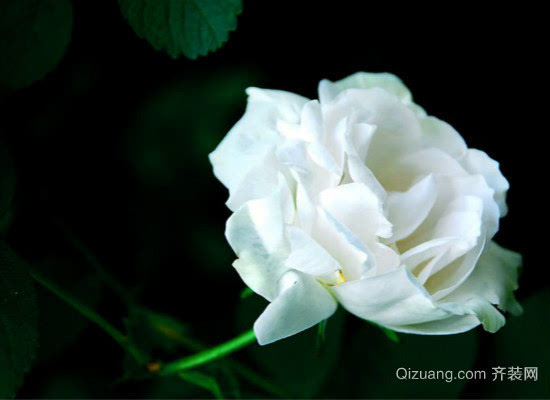 11朵白玫瑰代表什么意思,而不同颜色又有哪些含义