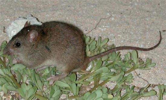 珊瑚老鼠陆地动物图片
