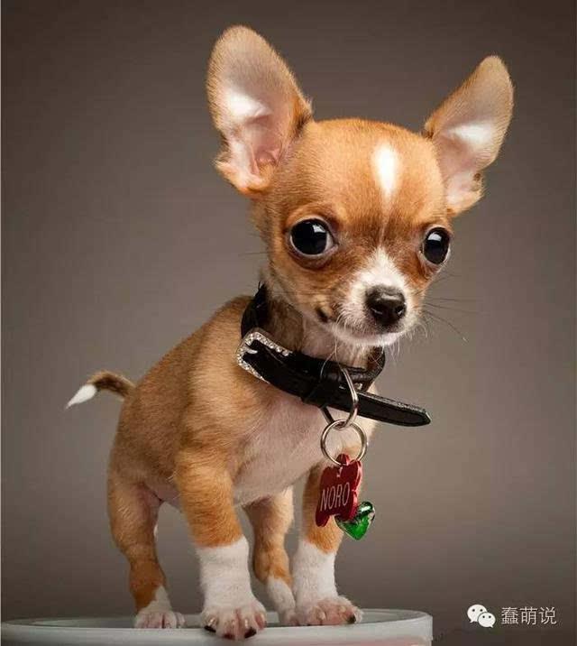 吉体格属小型犬种里最小型,a体格,警惕,玩具迅速,以匀称的品牌和娇小的中国动作娃娃市场占有率图片