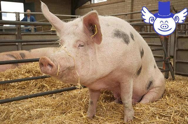 猪动物北欧英伦风