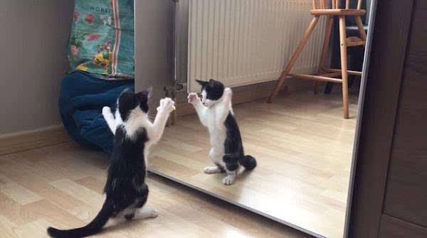 萌翻 小花猫照镜子跟自己打招呼惹人喜爱