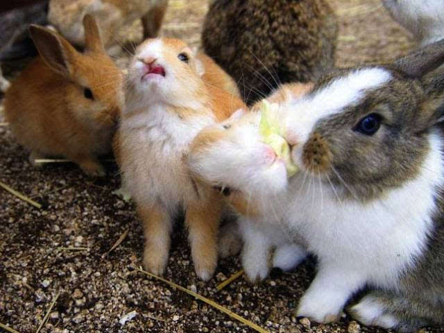 兔子吃白菜    矢量图